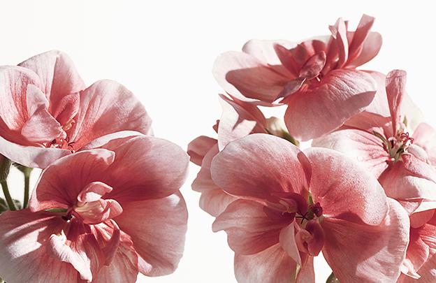 My Burberry Blush, flores de geranio