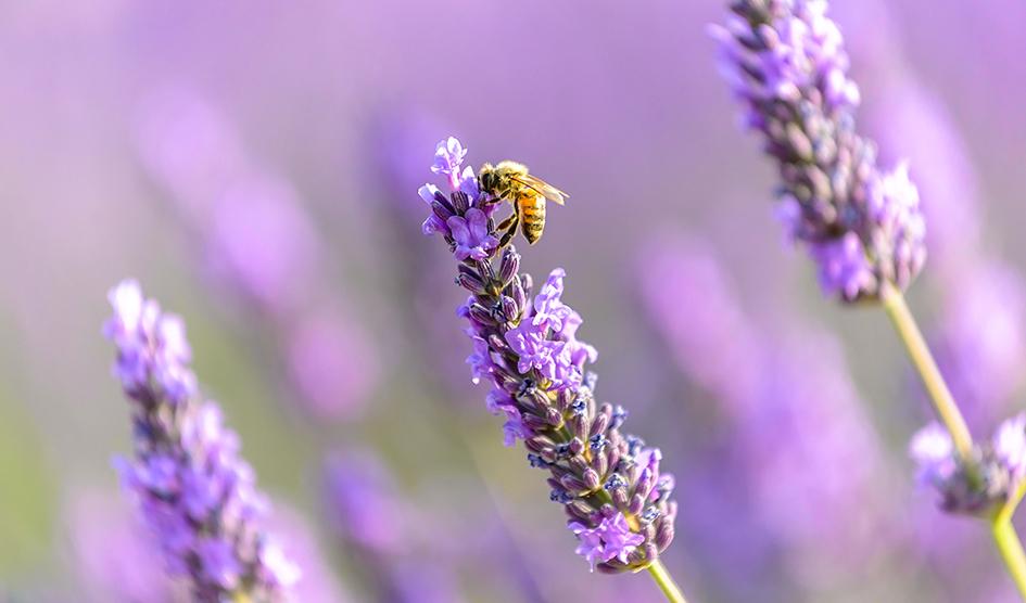 Día de las abejas, lavanda